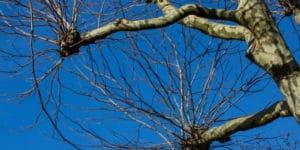 Tree Pollarding dublin